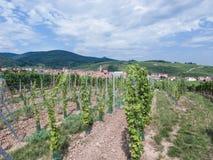 小山的葡萄园 库存照片