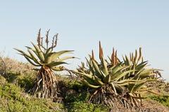 小山的野生芦荟植物 免版税库存图片