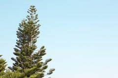 小山的雪松冠与蓝天 免版税图库摄影