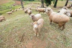 小山的绵羊农场 免版税库存图片