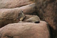 小山羊在圣路易动物园里 库存照片