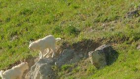 小山羊在岩石互相推挤 股票视频