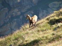 小山羚羊 库存照片