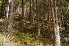 小山背景的干燥森林 库存图片
