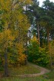 小山菩提树混杂的松木 库存图片