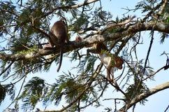 小山顶猴子 免版税图库摄影