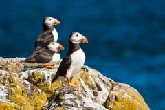 小岛的海鹦殖民地在Scottland,英国可以 库存照片