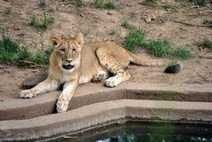 小崽狮子 免版税库存图片