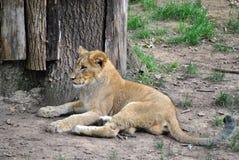 小崽狮子 免版税库存照片