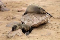 小布朗海狗,海角十字架,纳米比亚殖民地  库存照片