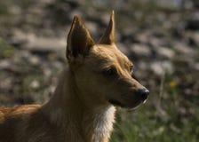 小布朗狗,从游泳弄湿了在湖 库存照片