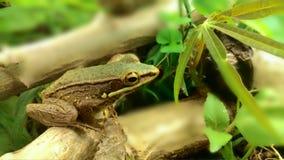 小布朗青蛙在森林里 免版税库存照片