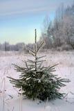 小常青圣诞树 免版税图库摄影