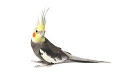 小形鹦鹉好奇逗人喜爱的灰色 免版税库存图片