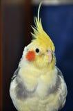 小形鹦鹉纵向 免版税图库摄影