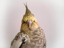 小形鹦鹉 免版税库存照片