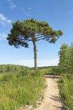 小径和一棵孤立杉树 免版税图库摄影