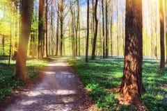 小径在会开蓝色钟形花的草盖的春天森林里 免版税库存照片
