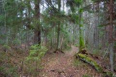 小径在杉木森林里 免版税库存照片