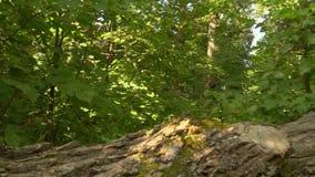 小径在绿色森林里 股票录像