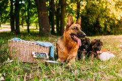 小德国牧羊犬 库存照片