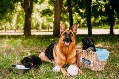 小德国牧羊犬 免版税库存图片