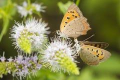 小或共同的铜蝴蝶lycaena phlaeas特写镜头 库存图片