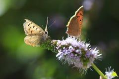 小或共同的铜蝴蝶lycaena phlaeas特写镜头 免版税图库摄影