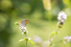 小或共同的铜蝴蝶lycaena phlaeas特写镜头 库存照片