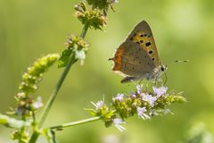 小或共同的铜蝴蝶lycaena phlaeas特写镜头 免版税库存图片