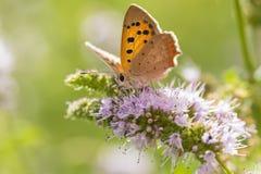 小或共同的铜蝴蝶lycaena phlaeas特写镜头 免版税库存照片