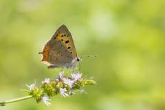 小或共同的铜蝴蝶lycaena phlaeas特写镜头 图库摄影