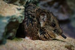 小打下基础的啮齿目动物沙子玻璃笼子 库存照片