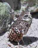 小挖洞的猫头鹰 免版税图库摄影
