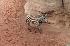 小斑马、沙子和岩石 库存照片