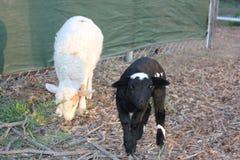 小新出生的黑山羊和绵羊 免版税库存照片