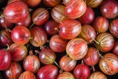 小新鲜的红色的鹅莓大和 库存照片