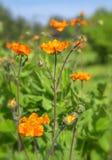 小明亮的红色橙色花在阳光下 春天夏天自然背景 库存照片