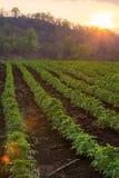 小木薯早晨,泰国 免版税库存照片