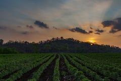 小木薯早晨,泰国 图库摄影