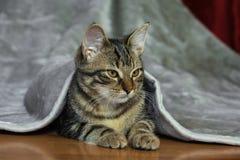 小杂种镶边小猫在它的胃说谎 库存照片