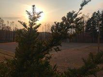 小杉树一个美丽的剪影  免版税图库摄影