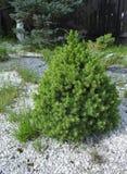 小杉树在庭院里 库存图片