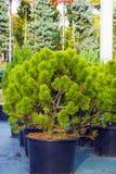 小杉树在黑罐在园艺中心卖了 免版税库存图片