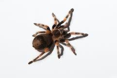小条有腿的塔兰图拉毒蛛 图库摄影