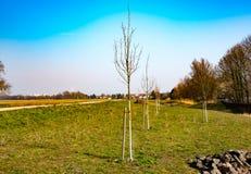 小树在早期的春天 库存照片