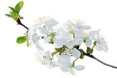 小树枝分支与开花的。隔绝在白色背景。 免版税库存图片