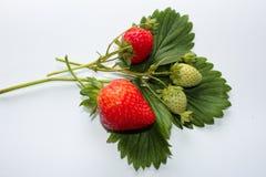小树枝strawberris在秋天 库存照片
