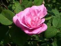 小桃红色玫瑰 免版税图库摄影