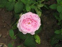 小桃红色玫瑰 免版税库存图片